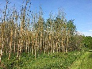 Bosbeheerders verwijderen op grote schaal zieke essen vanwege veiligheid