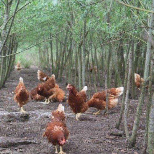 Agroforestry in kippenuitlopen