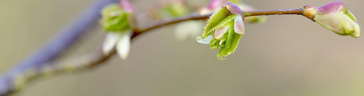 Linde knop (lente)